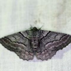 Hypobapta (genus) (A Geometer moth) at Tidbinbilla Nature Reserve - 11 Nov 2018 by ibaird