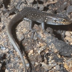 Liopholis whitii (White's Skink) at Gibraltar Pines - 20 Feb 2020 by Harrisi