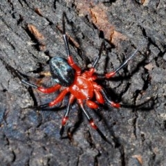 Nicodamidae sp. (family) (Red and Black Spider) at Tidbinbilla Nature Reserve - 20 Feb 2020 by Harrisi
