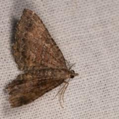 Chrysolarentia bichromata (Two-toned Carpet) at Bimberi Nature Reserve - 7 Feb 2019 by kasiaaus