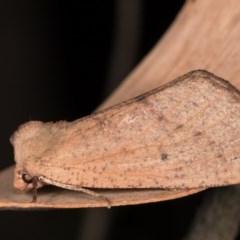 Fisera hypoleuca at Tidbinbilla Nature Reserve - 9 May 2018 by kasiaaus