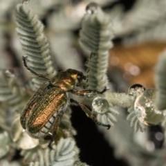Diphucephala sp. (genus) (Green Scarab Beetle) at Bimberi Nature Reserve - 7 Feb 2019 by kasiaaus