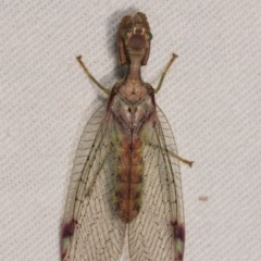 Mantispidae (family) (Unidentified mantisfly) at Bimberi Nature Reserve - 7 Feb 2019 by kasiaaus