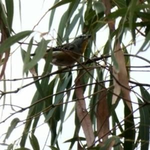 Pardalotus punctatus at Red Hill Nature Reserve - 24 Feb 2020