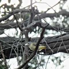 Acanthiza chrysorrhoa (Yellow-rumped Thornbill) at Red Hill Nature Reserve - 24 Feb 2020 by Ct1000