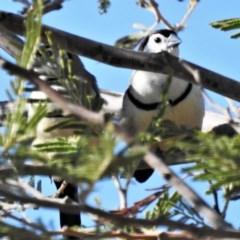 Taeniopygia bichenovii (Double-barred Finch) at Molonglo Valley, ACT - 24 Feb 2020 by JohnBundock