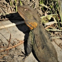 Intellagama lesueurii howittii (Gippsland Water Dragon) at Molonglo River Reserve - 24 Feb 2020 by JohnBundock