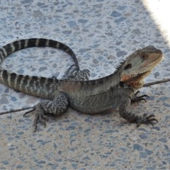 Intellagama lesueurii howittii (Gippsland Water Dragon) at Molonglo Valley, ACT - 24 Feb 2020 by JohnBundock