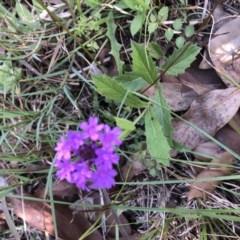 Verbena rigida (Veined Verbena) at Conjola, NSW - 25 Feb 2020 by Tanya