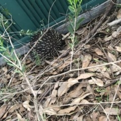 Tachyglossus aculeatus (Short-beaked Echidna) at Cunjurong Point, NSW - 25 Feb 2020 by Tanya
