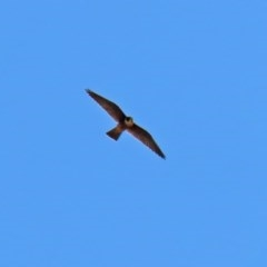 Falco longipennis (Australian Hobby) at Fyshwick, ACT - 24 Feb 2020 by RodDeb