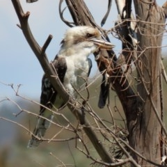 Dacelo novaeguineae (Laughing Kookaburra) at Jerrabomberra Wetlands - 24 Feb 2020 by RodDeb