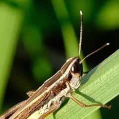 Macrotona australis (Common Macrotona Grasshopper) at Melba, ACT - 25 Feb 2020 by Kurt