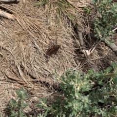 Monistria concinna (Southern Pyrgomorph, Southern Gaudy Grasshopper) at Kosciuszko National Park - 24 Feb 2020 by SimoneC