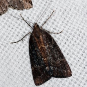 Mictodoca toxeuta at Namadgi National Park - 1 Apr 2019