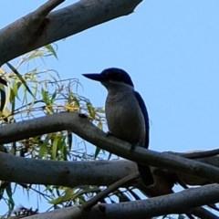 Todiramphus sanctus (Sacred Kingfisher) at Melba, ACT - 25 Feb 2020 by Kurt