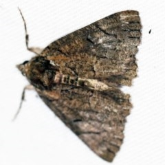 Heliomystis electrica (Electric Moth) at Namadgi National Park - 7 Feb 2019 by ibaird