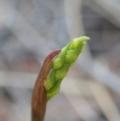Corunastylis cornuta at Mount Painter - 25 Feb 2020