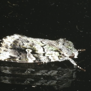 Prometopus inassueta at Ainslie, ACT - 25 Feb 2020