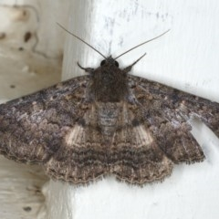 Eudesmeola lawsoni (Lawson's Night Moth) at Ainslie, ACT - 25 Feb 2020 by jbromilow50