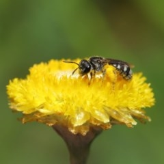 Lasioglossum (Chilalictus) sp. (genus & subgenus) (Halictid bee) at ANBG - 25 Feb 2020 by TimL