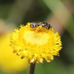 Lasioglossum (Chilalictus) sp. (genus & subgenus) at ANBG - 25 Feb 2020