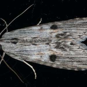 Calathusa ischnodes at Ainslie, ACT - 25 Feb 2020