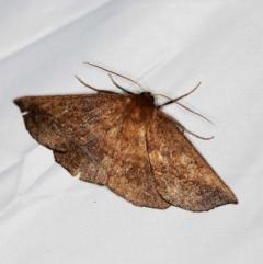 Idiodes apicata (Bracken Moth) at Tidbinbilla Nature Reserve - 11 Nov 2018 by ibaird