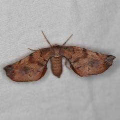 Parepisparis virgatus (Brown Twisted-moth) at Namadgi National Park - 7 Feb 2019 by ibaird
