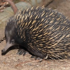 Tachyglossus aculeatus (Short-beaked Echidna) at ANBG - 25 Feb 2020 by Tim L