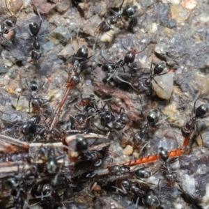 Iridomyrmex sp. (genus) at ANBG - 25 Feb 2020