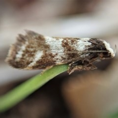 Isomoralla eriscota (A concealer moth) at Mount Painter - 17 Feb 2020 by CathB