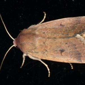 Proteuxoa hypochalchis at Ainslie, ACT - 31 Jan 2020