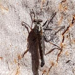 Cerdistus sp. (genus) (Robber fly) at Lyneham, ACT - 26 Feb 2020 by tpreston