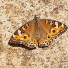 Junonia villida (Meadow Argus) at City Renewal Authority Area - 26 Feb 2020 by tpreston