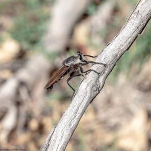 Blepharotes sp. (genus) at Kama - 27 Feb 2020