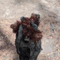 Cyathea australis (Rough tree fern) at Wingello, NSW - 25 Feb 2020 by Margot