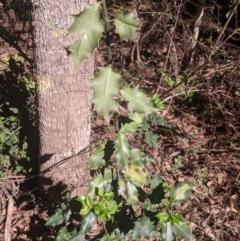 Ilex aquifolium (Holly) at Penrose, NSW - 24 Feb 2020 by Margot