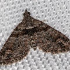 Phrissogonus laticostata (Apple looper moth) at Melba, ACT - 8 Feb 2018 by Bron