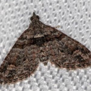Phrissogonus laticostata at Melba, ACT - 9 Feb 2018