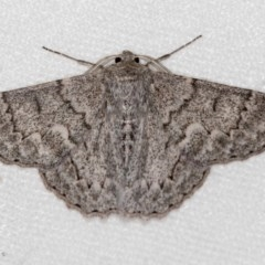 Crypsiphona ocultaria (Red-lined Looper Moth) at Melba, ACT - 15 Feb 2018 by Bron