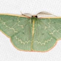 Chlorocoma dichloraria (Doubled-fringed or Guenee's Emerald) at Melba, ACT - 28 Feb 2018 by Bron