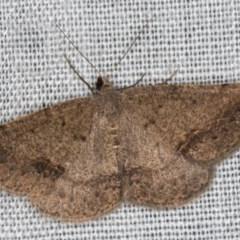 Taxeotis intextata (Looper Moth, Grey Taxeotis) at Cotter River, ACT - 14 Mar 2018 by Bron