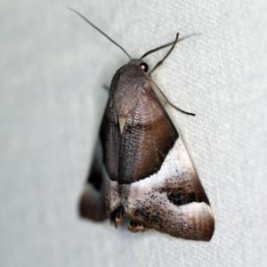 Niceteria macrocosma at Namadgi National Park - 7 Feb 2019