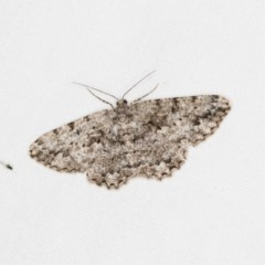 Unplaced externaria (Mahogany Bark Moth) at Melba, ACT - 30 Mar 2018 by Bron