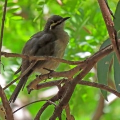 Caligavis chrysops (Yellow-faced Honeyeater) at Molonglo Valley, ACT - 26 Feb 2020 by RodDeb