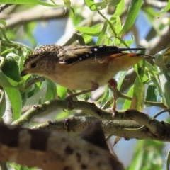 Pardalotus punctatus (Spotted Pardalote) at Molonglo Valley, ACT - 26 Feb 2020 by RodDeb