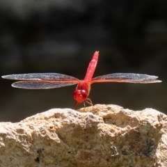 Diplacodes haematodes (Scarlet Percher) at National Zoo and Aquarium - 26 Feb 2020 by RodDeb