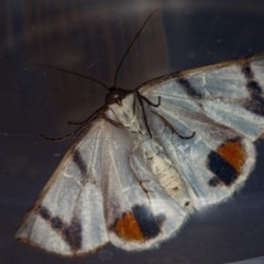 Thalaina clara (Clara's Satin Moth) at Melba, ACT - 2 Apr 2018 by Bron