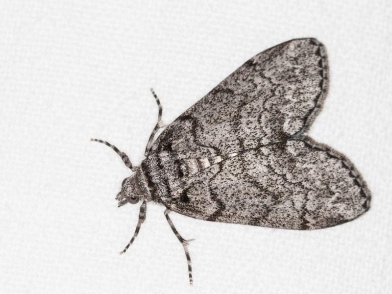 Smyriodes undescribed species nr aplectaria at Melba, ACT - 11 Apr 2018
